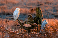 Snowy Owls at Sunset