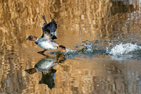 Common Goldeneye Fleeing