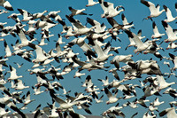 Snow Geese - Bosque del Apache National Wildlife Refuge