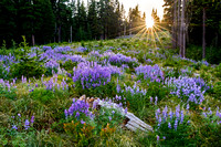 Lupine Meadow - Mount Hood