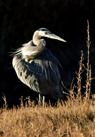 Great Blue Heron - Bosque del Apache National Wildlife Refuge
